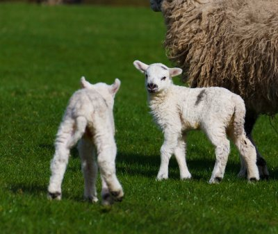 Lower Lambing Season Losses