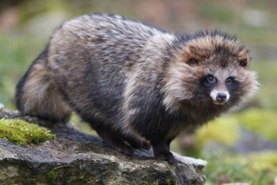 Raccoon Dogs: Unusual Pet Or Uncontrollable Pest?