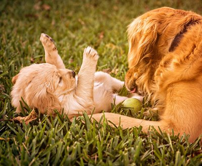 Planning for a Happy Event – TARGET Canine Ovulation Test Kit